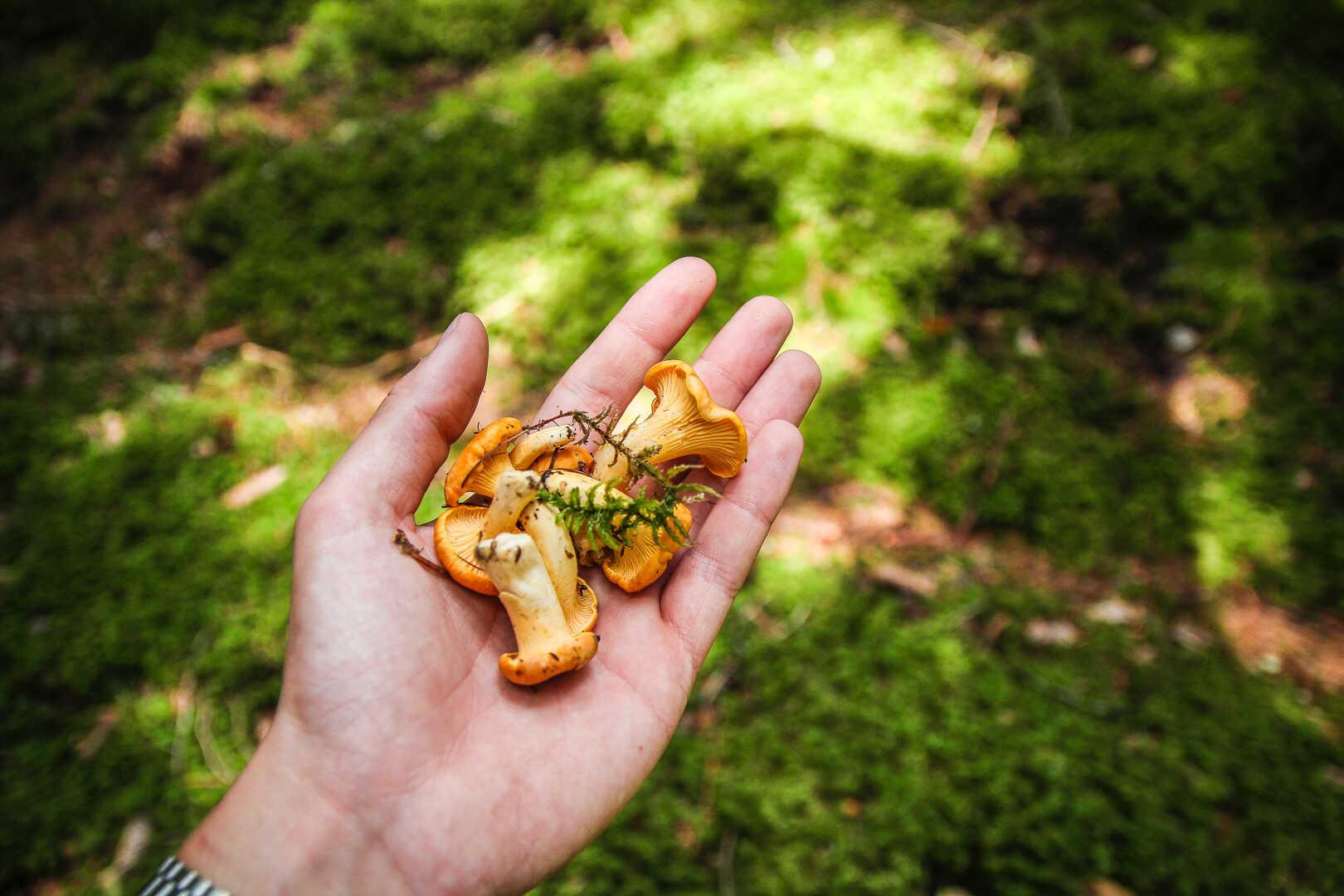 Nyplukket sopp fra skogen